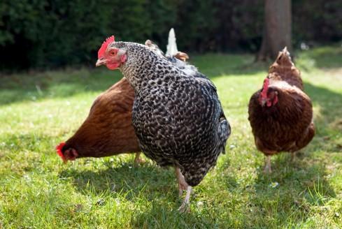 שתי תרנגולות חומות ואחת לבנה-שחורה