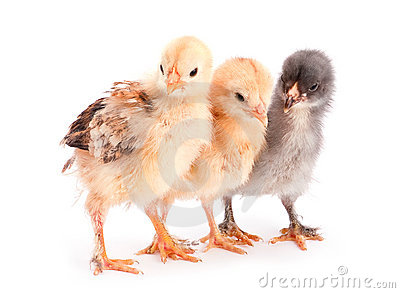 group-young-chicken-20635463